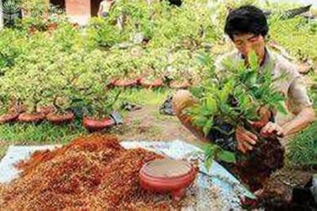 Chuẩn bị trồng cây vào chậu